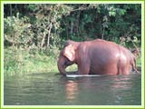 Elephant at Periyar